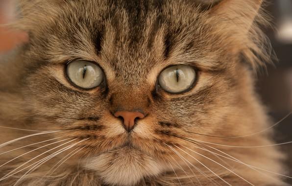 Картинка кошка, кот, взгляд, портрет, мордочка, котейка