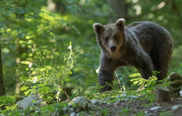 Картинка лес, медведь, медвежонок