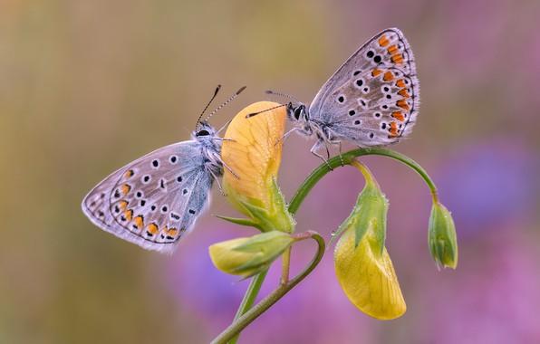 Картинка цветок, бабочки, парочка, голубянки