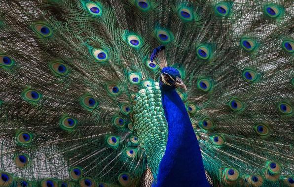 Картинка животные, взгляд, свет, синий, зеленый, птица, хвост, павлин, красавец, грудка, раскрытый, распушил