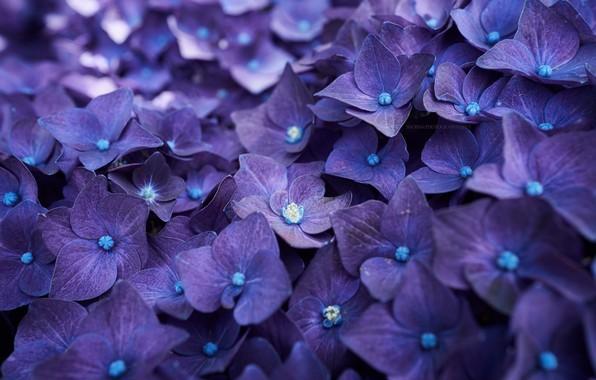 Картинка лепестки, blue, цветки, flowers, голубая, гортензия, petals, splendor, hydrangea, пышность