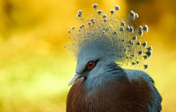 Картинка природа, птица, Victoria crowned Pigeon