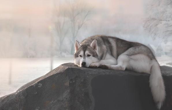 Картинка отдых, камень, собака, Хаски
