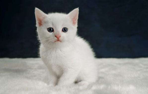 Картинка взгляд, котенок, портрет, малыш, белый котёнок