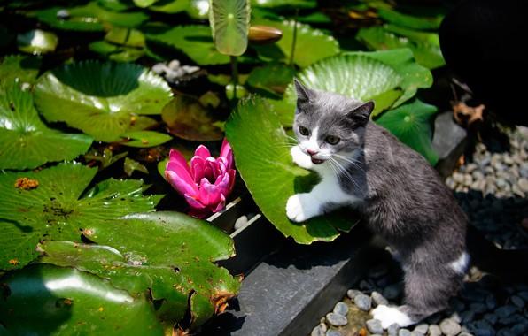 Картинка кошка, цветок, листья, сад, котёнок, водяная лилия, котейка, Манчкин