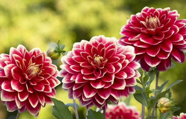 Картинка лето, цветы, фон, яркие, лепестки, сад, трио, бутоны, георгины