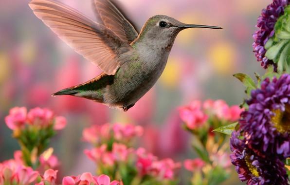Картинка цветы, природа, колибри, птичка, боке