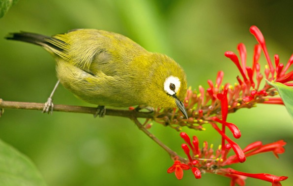 Картинка фон, птица, ветка, Молуккская белоглазка, Эмботриум Красный