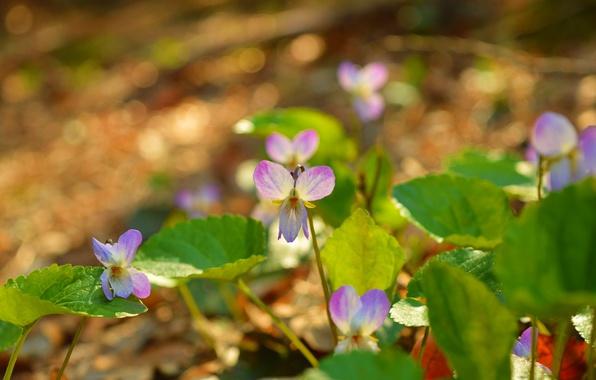Картинка Природа, Весна, Nature, Flowers, Spring, Фиалка трёхцветная