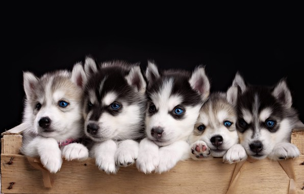 Картинка щенки, хаски, мордочки