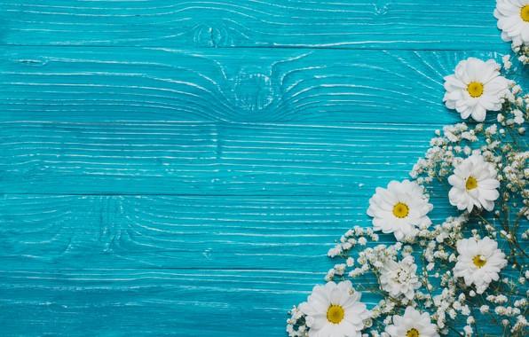 Картинка цветы, фон, хризантемы, flowers, background, chrysanthemums