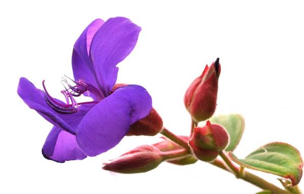 Картинка цветок, природа, лепестки, стебель, экзотика