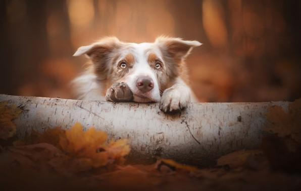 Картинка взгляд, морда, собака, бревно, боке, Бордер-колли