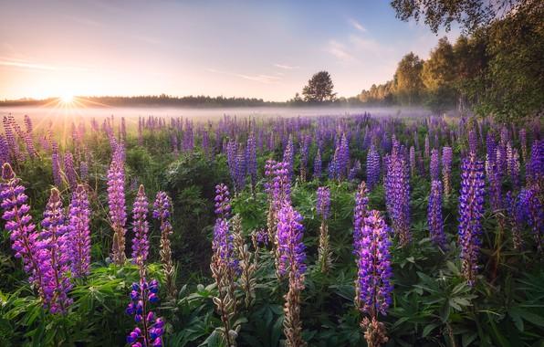 Картинка солнце, деревья, цветы, туман, утро, люпины
