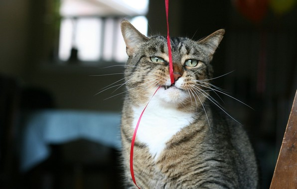 Картинка Cat, animal, funny, situation, ribbon, bite, fur, ears, muzzle, whiskers, feline