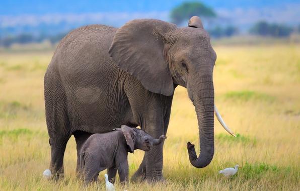 Картинка птицы, слон, Африка, слоны, слониха, слоненок, цапли