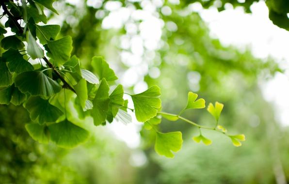 Фото обои листья, ветка, гинкго
