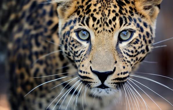 Картинка крупный план, размытость, леопард, дикая кошка, leopard, animals, nature, боке, travel, wallpaper., my planet, хищник …