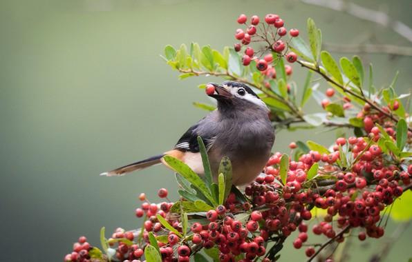Картинка птицы, ягоды, ветка, белоухая цветная тимелия