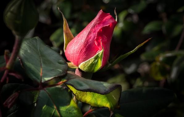 Картинка красный, роза, бутон