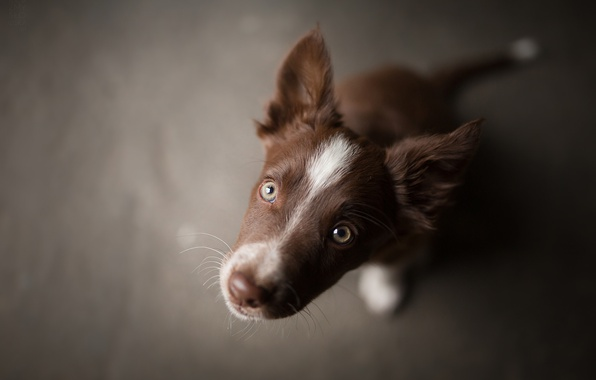 Фото обои мордочка, коричневый, щеночек, Tissaia