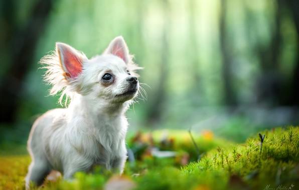 Картинка боке, пёсик, Чихуахуа, собачонка