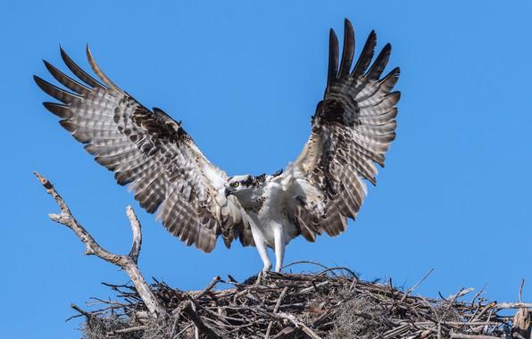 Картинка птица, крылья, хищник, cкопа