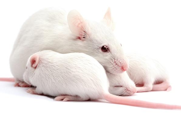 Картинка макро, семья, белая, малыши, мама, крыса, домашняя