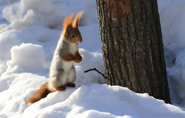 Картинка зима, снег, природа, дерево, животное, белка, ствол, грызун