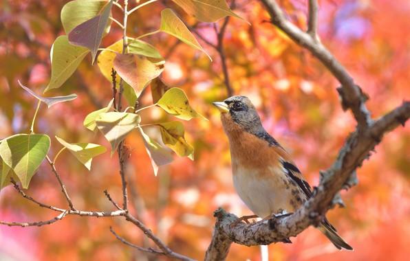 Картинка листья, птица, ветка, боке, Вьюрок