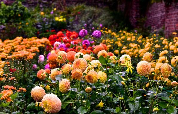 Картинка лето, цветы, разноцветные, цветение, много, георгин