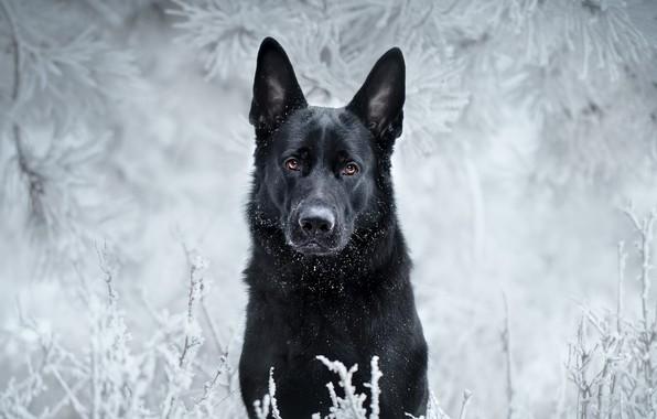 Картинка иней, взгляд, морда, ветки, собака, чёрная, Немецкая овчарка