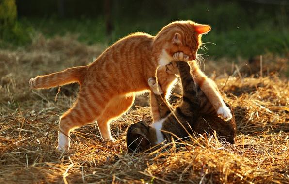 Коты дерутся или играют
