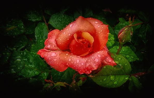 Картинка цветок, листья, вода, капли, роза, лепестки, бутон