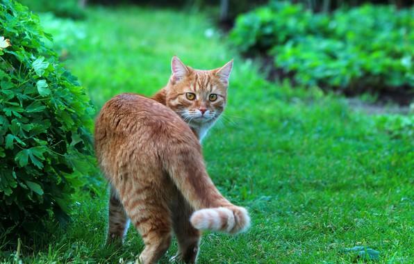 Картинка лето, кот, кошки, природа, рыжий кот, стёпка, степан