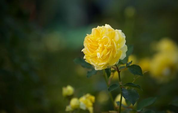 Картинка роза, боке, жёлтая роза
