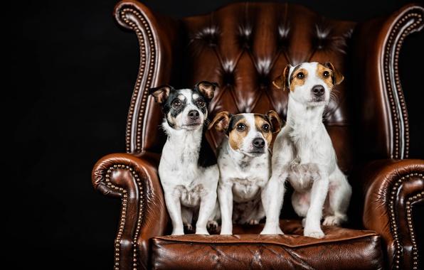 Картинка собаки, портрет, кресло, трио, чёрный фон, троица, Джек-рассел-терьер