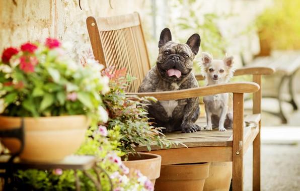 Картинка собаки, цветы, скамейка, боке, две собаки, Чихуахуа, Французский бульдог