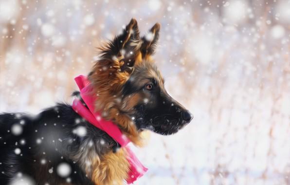 Картинка взгляд, снег, друг, щенок, немецкая овчарка