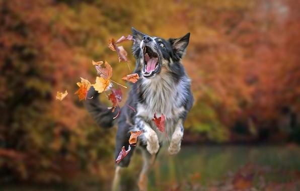 Картинка осень, листья, настроение, игра, собака, боке, Бордер-колли
