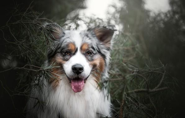Картинка взгляд, морда, ветки, портрет, собака, сосна, Австралийская овчарка, Аусси