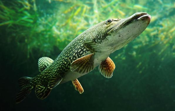 Картинка рыба, щука, Esox lucius, Семейство Щуковые, Щука Обыкновенная