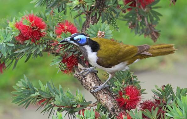 Фото обои дерево, птица, ветка, цветки, Каллистемон, Синеухий медосос