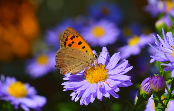 Картинка Макро, Бабочка, Боке, Bokeh, Macro, Фиолетовые цветы, Butterfly, Purple flowers