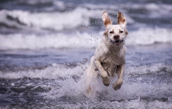 Картинка море, волны, брызги, собака, Английский сеттер