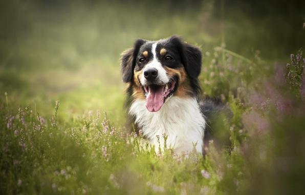 Картинка язык, трава, морда, собака, боке, Австралийская овчарка, вереск, Аусси