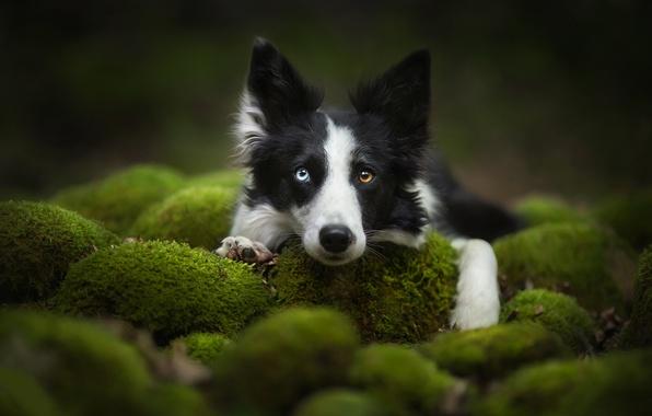 Картинка взгляд, морда, мох, собака, Бордер-колли