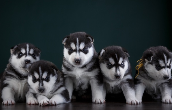 Картинка щенки, хаски, квинтет