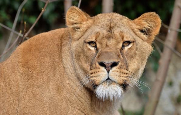 Картинка кошка, взгляд, морда, ветки, фон, портрет, дикие кошки, львица, дикая природа, царица