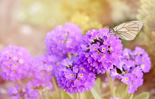 Картинка цветы, природа, бабочка, nature, butterfly, flowers, spring, purple, earlybloomer